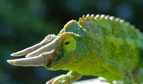 Il camaleonte di Jackson
